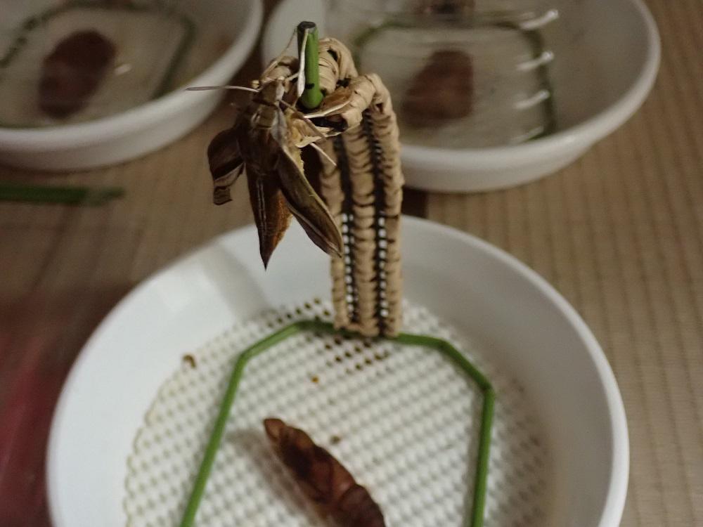 オナガ用羽化器で翅を伸ばす