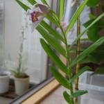 ツニア開花