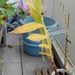 ツニア 黄葉