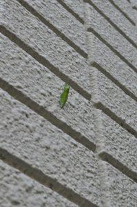 アゲハの蛹
